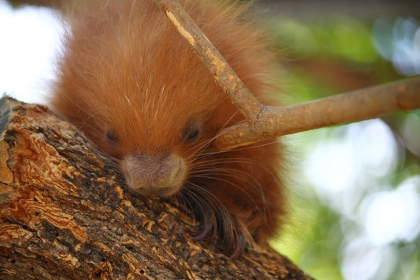 A baby prehensile-tailed porcupine was born at Charles Paddock zoo at the end of June and is now ready to receive visitors.   Courtesy photo