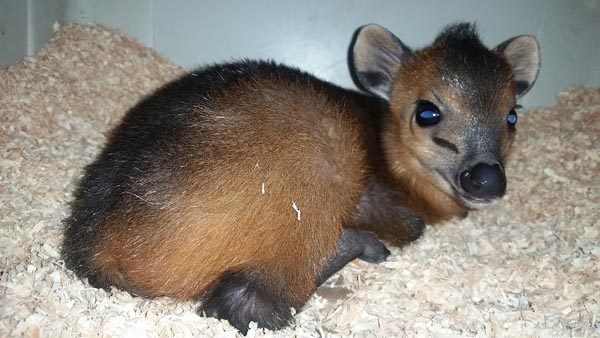 The Charles Paddock Zoo recently announced the birth of a female red-flanked duiker. The red-flanked duiker is a species of small antelope found in western and central Africa.