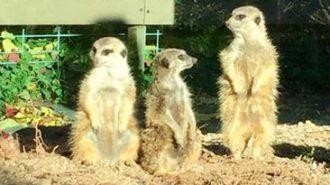 meercat atascadero zoo