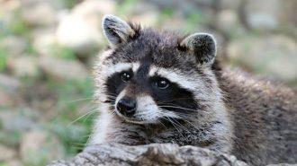 raccoon-1476504_640-600x399 (1)