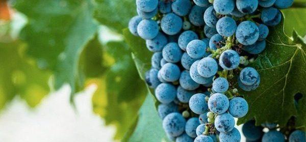 vineyard report 2019